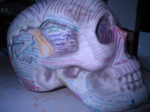 Articulatory System 018