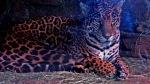 jaguar sick