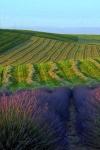 blue mt lavender farm