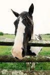big head horse