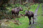 NW Trek moose-duo