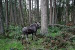NW Trek moose-number 3