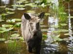 NW Trek moose--still a baby