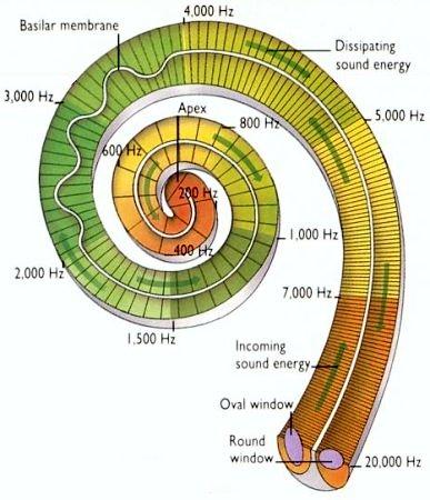 freq inside cochlea