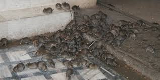 mouse infestation